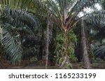palm oil plantation   Shutterstock . vector #1165233199