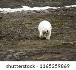 polar bear on northbrook island ...   Shutterstock . vector #1165259869