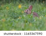 baby eastern cottontail bunny ... | Shutterstock . vector #1165367590