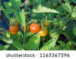organic  orange cherry tomatoes | Shutterstock . vector #1165367596