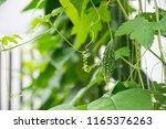little young bitter melon or... | Shutterstock . vector #1165376263