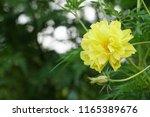 yellow cosmos or cosmos... | Shutterstock . vector #1165389676