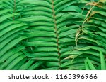 Leaves Pattern Common Bracken ...