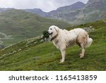 great pyrenees dog  patou  on... | Shutterstock . vector #1165413859