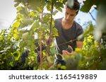 handsome young vintner... | Shutterstock . vector #1165419889
