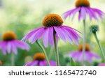 echinacea purple. a perennial... | Shutterstock . vector #1165472740
