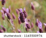 lavandula pedunculata  french... | Shutterstock . vector #1165500976