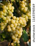 grapes white wine on tree with...   Shutterstock . vector #1165598569