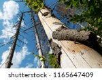 closeup of a pine log... | Shutterstock . vector #1165647409