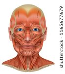 face and neck muscles detailed... | Shutterstock .eps vector #1165677679