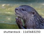the asian small clawed otter... | Shutterstock . vector #1165683250