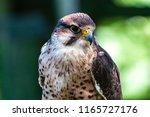 closeup of a beautiful... | Shutterstock . vector #1165727176