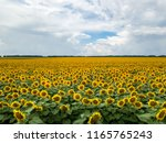 agricultural field of blooming...   Shutterstock . vector #1165765243