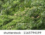 mimosa in trees focused | Shutterstock . vector #1165794199
