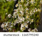pretty soft white flowers of... | Shutterstock . vector #1165795240