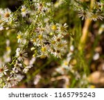 pretty soft white flowers of... | Shutterstock . vector #1165795243