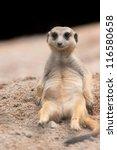 Meerkat Lying In The Sun