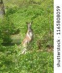 Kangaroo Upright Through The...