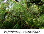 background or texture of pine... | Shutterstock . vector #1165819666