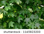 maple leaves background or... | Shutterstock . vector #1165823203