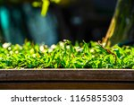 close up grass on the ground... | Shutterstock . vector #1165855303