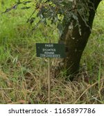 botanical identification label... | Shutterstock . vector #1165897786