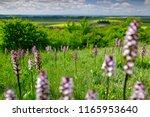 meadow with orchis purpurea ... | Shutterstock . vector #1165953640