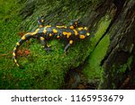 Fire Salamander  Spotted...