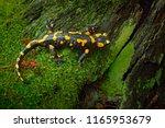 fire salamander  spotted... | Shutterstock . vector #1165953679