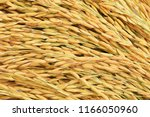 organic rice ear of paddy  ears ...   Shutterstock . vector #1166050960