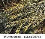 wormwood flowers. texture. | Shutterstock . vector #1166125786
