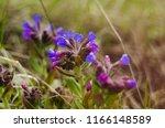 blooming of lungwort in spring. ... | Shutterstock . vector #1166148589
