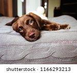 Cute chocolate lab puppy.