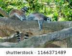 a pair of ring tailed lemurs... | Shutterstock . vector #1166371489