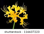 Golden Spider Lily Flower On...
