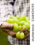 grapes harvest. farmers hands... | Shutterstock . vector #1166424193