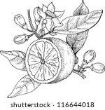 drawings blossoming lemon | Shutterstock .eps vector #116644018