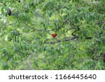 red cardinal in green tree | Shutterstock . vector #1166445640