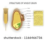 structure of wheat seed grain ... | Shutterstock .eps vector #1166466736
