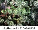 a wall of common ivy. usuable... | Shutterstock . vector #1166469430