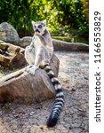ring tailed lemur 'lemur catta' ... | Shutterstock . vector #1166553829