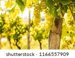 vineyard   white grapes on... | Shutterstock . vector #1166557909