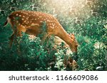 Young Deer Eating Grass In The...