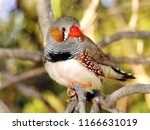 this little male finch was... | Shutterstock . vector #1166631019