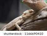 brown chameleon on the branch ... | Shutterstock . vector #1166690410