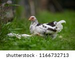 free range chicken in a... | Shutterstock . vector #1166732713