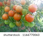 small tomatoes. on the branches.... | Shutterstock . vector #1166770063