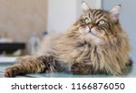 Stock photo wonderful cat of siberian breed in livestock hypoallergenic domestic kitten with long hair brown 1166876050