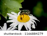 A Large Green Beetle And A...