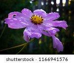 purple cosmos flower with water ... | Shutterstock . vector #1166941576